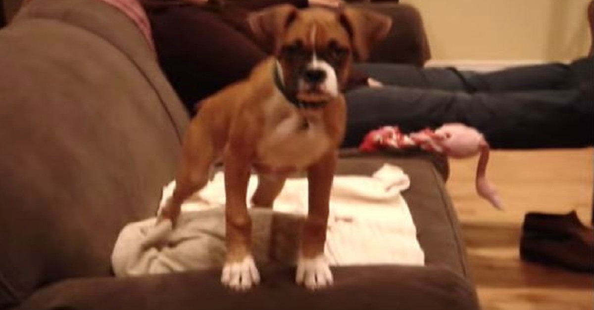 Boxer Happy Dance!
