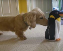 Dachshund vs Penguin