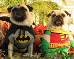 Pug Sings Batman Theme Song [HILARIOUS]