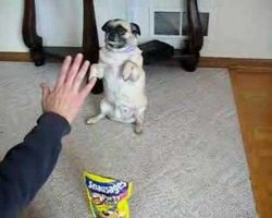 Angel The Pug Performs Amazing Tricks
