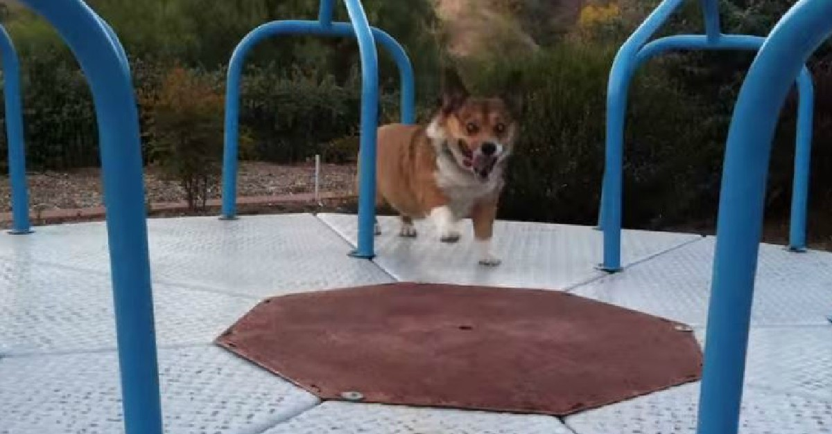 Meatball the Corgi Has A Blast On The Carousel!