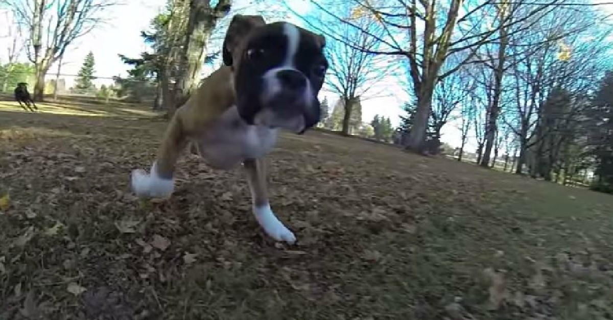 Duncan Lou Who, The Boxer Puppy With Two Legs!