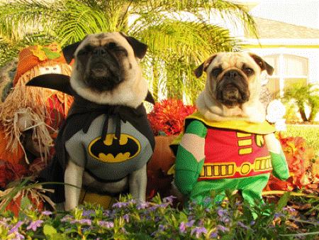 Pug Sings Batman Theme Song [HILARIOUS]