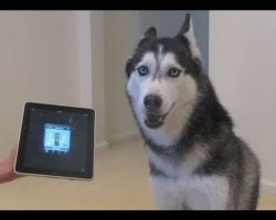 Husky Dog Sings with iPAD – Better than Bieber!
