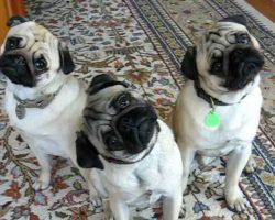 """The """"Pug Head Tilt"""" Pugs!"""