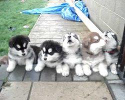 4 Weeks Old Puppies Howling! [DISGUSTINGLY CUTE]