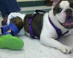 Paralyzed Dog Receives Custom Legs, Braces And Crocs!