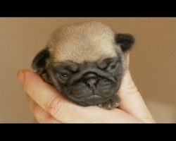 A Handful of Tiny Pug Puppy!