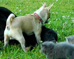 Brave Chihuahua Protects His Pack… of Kittens!