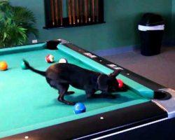 Chihuahua Dog Playing Pool ♥ CUTE ♥