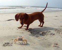 Dachshund Puppy's First Ever Encounter With… a Crab!!