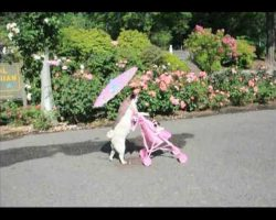 Pug Pushes Pink Stroller Around In Portland