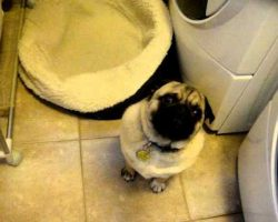 Pug REFUSES to go to bed….Screams!!!!