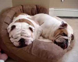 The Snoring Bulldogs [ADORABLE]