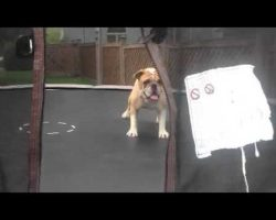 This Bulldog Is Having a Blast Flipping and Jumping on the Trampoline!!