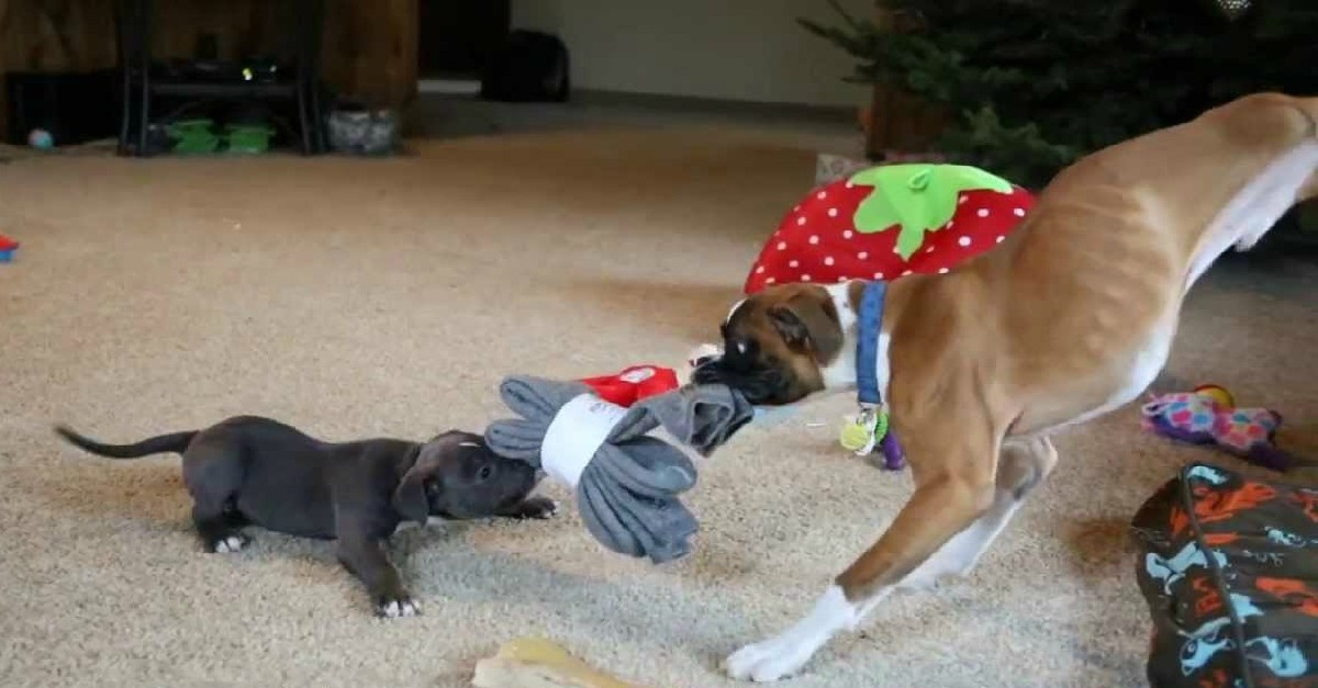 Tug of War: Duncan Lou Who the Two-Legged Boxer vs Meatball the Pit Bull Puppy