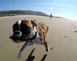 Two Legged Boxer Duncan Lou Who's First Trip to the Beach!!