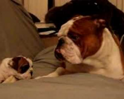 Tough English Bulldog Daddy Meets Even Tougher Daughter For The First Time!