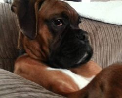 Boxer Dog Chillin'…. LIKE A BOSS!