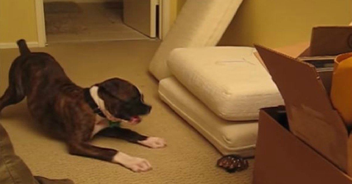 Boxer Puppy Vs. Bag Of Marbles