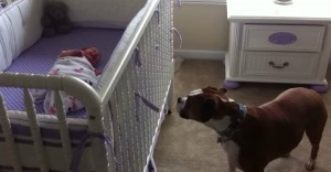 boxer responds to baby cry