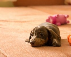 Dachshund Puppy Was Allowed On Bed For The First Time! Look What He Did!