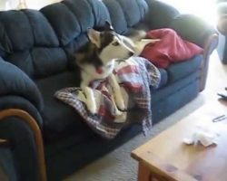 She Tells Her Husky to Stop Watching TV and to Come Over. His Reaction is Hilarious!