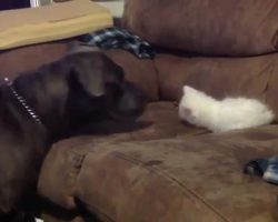 Pit Bull, Kitten And The Big Bang Theory