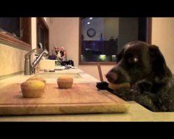 Sierra the cupcake-eating German Shorthair Pointer
