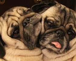 "These Cuddling ""Bonded Pair"" Pugs Will Make You Smile, Guaranteed!"