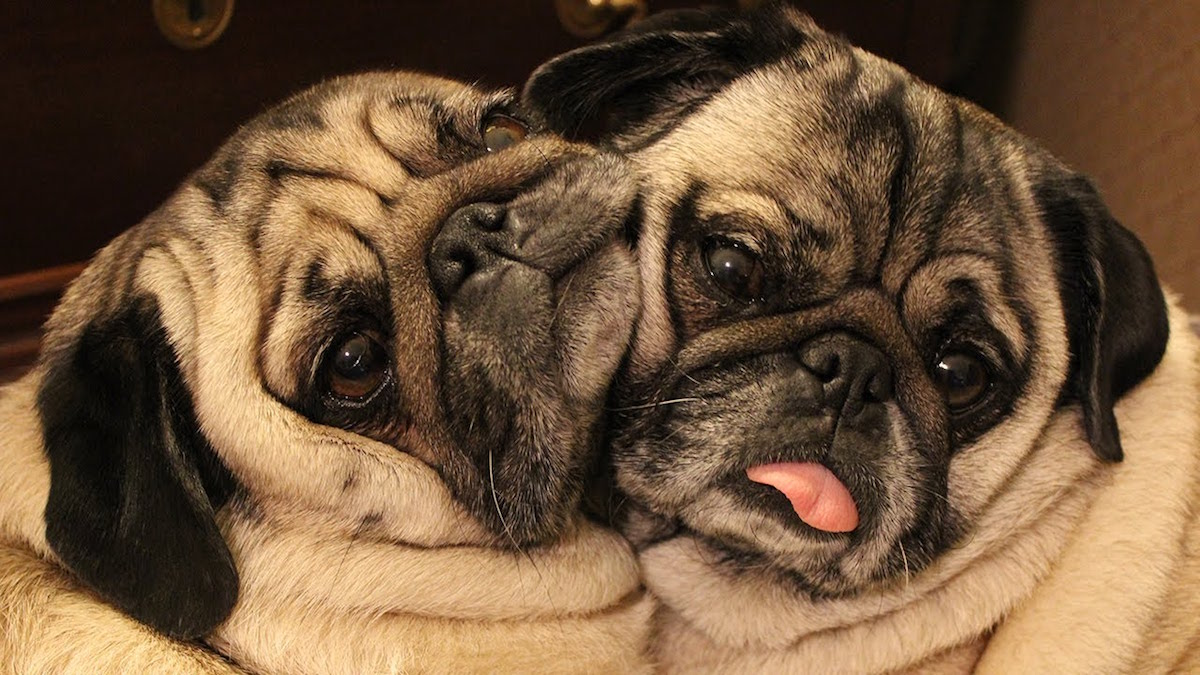How To Get Your Dogs To Be A Bonded Pair