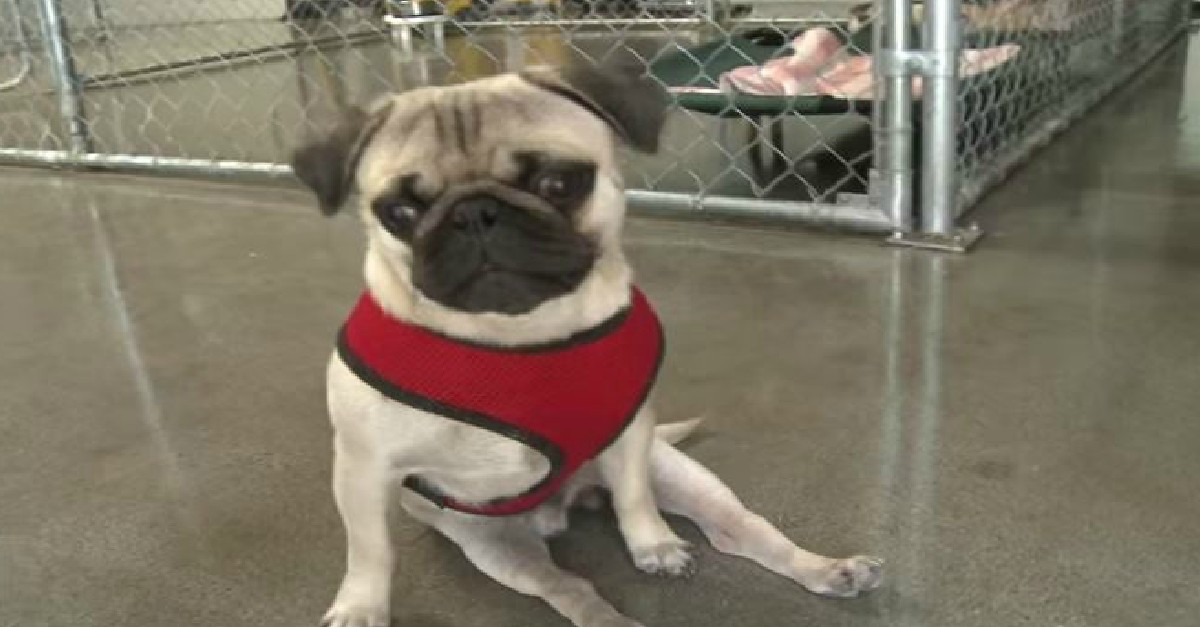 This Is The Amazing Story Of Pepe The Paralyzed Pug He Didn
