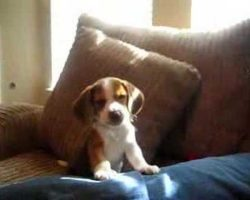 Beagle Puppy Discovers He Could Howl And It's Too Cute For Words!
