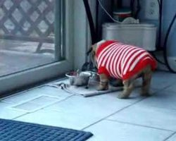 English Bulldog Puppy Has Temper Tantrum Over New Sweater! It May Just Be The Cutest Thing EVER!