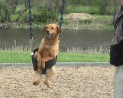 This Dog In A Swing Will Make Your Day!