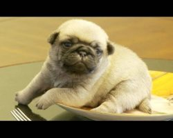 Pug Puppy Stuck On Pug Plate! So Cute I'm Dying!!