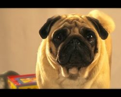 Queenie The Toy Critic Pug is Too Cute And Hilarious!!
