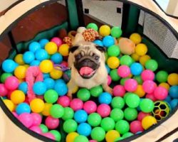 This Pug Will Remind You How Much Fun Ball Pits Can Be!