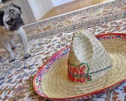 A Tale Of A Pug And A Sombrero
