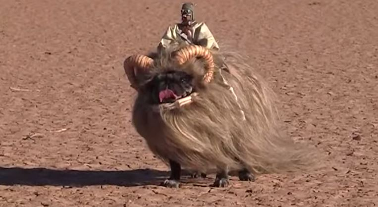 pug in bantha costume