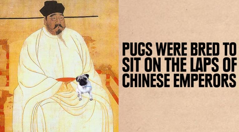 pug chinese emperor lap dog