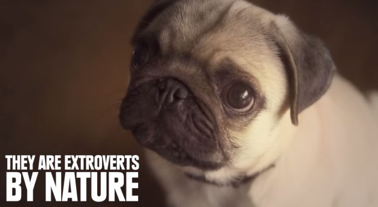 pug are extroverts