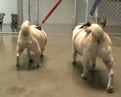 Obese Pugs Relinquished By Owner, Find A New Healthy Home