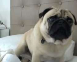 The Many Voices Of A Pug