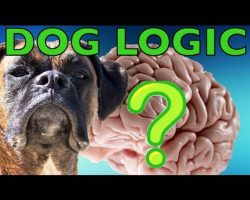 Brock The Boxer's Dog Logic Makes No Sense! But It's Adorable And Hilarious!!