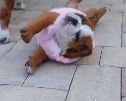 Bulldog Puppy Can't Get Up! And It's Too Cute And Hilarious…