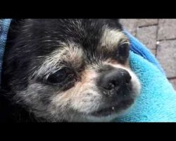 Elderly And Blind, This Chihuahua Was Dumped In A Sewer. Luckily, A Hero Stepped Up To Help!