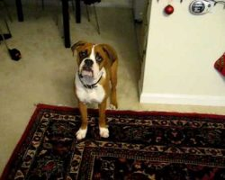 This Boxer Is Scared Of His Own Farts And It's Hilarious!!!