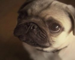 Walter the Office Pug Will Put A Smile On Your Face, Guaranteed!
