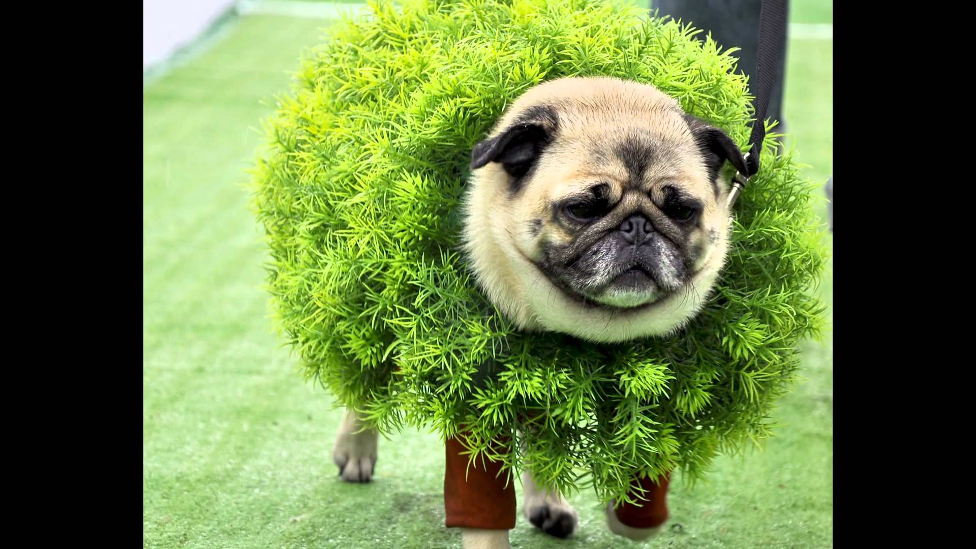 Pugs Adorable Matter But They Even More